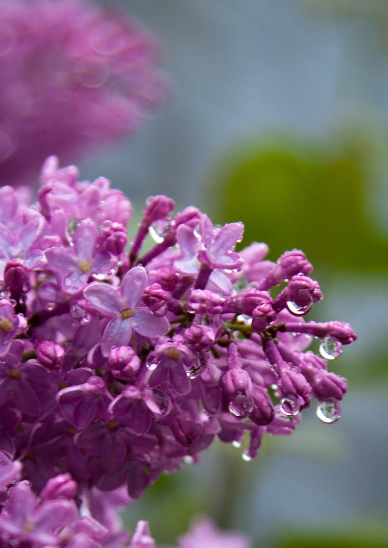 Сирень после дождя. Блиц: весна!