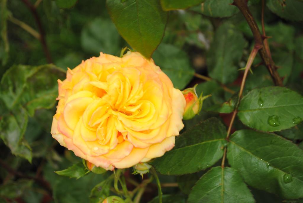 Роза после дождя. Блиц: желтое