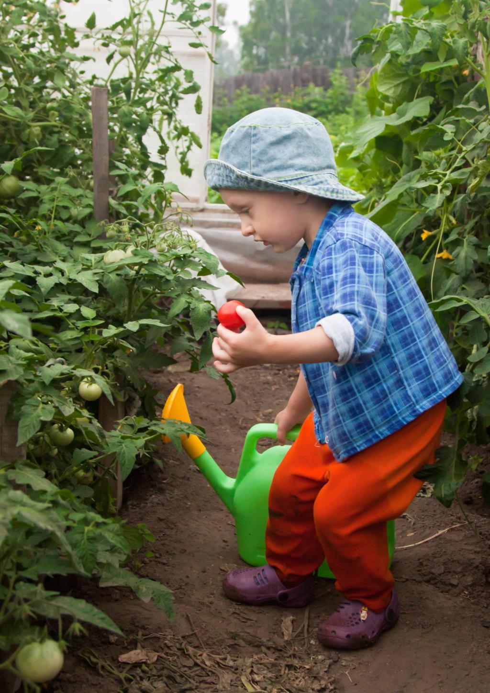 Вот какие помидоры я вырастил!. Забот полон рот