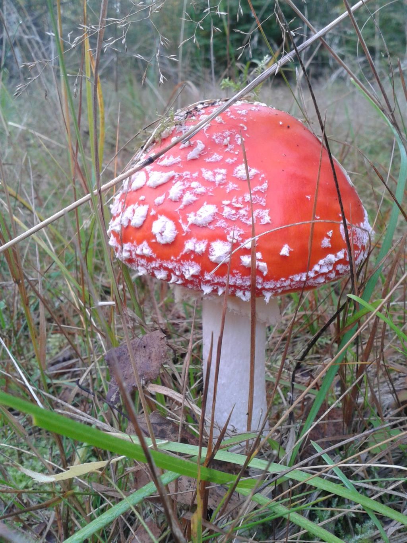 Мухомор красный. Лесной пейзаж