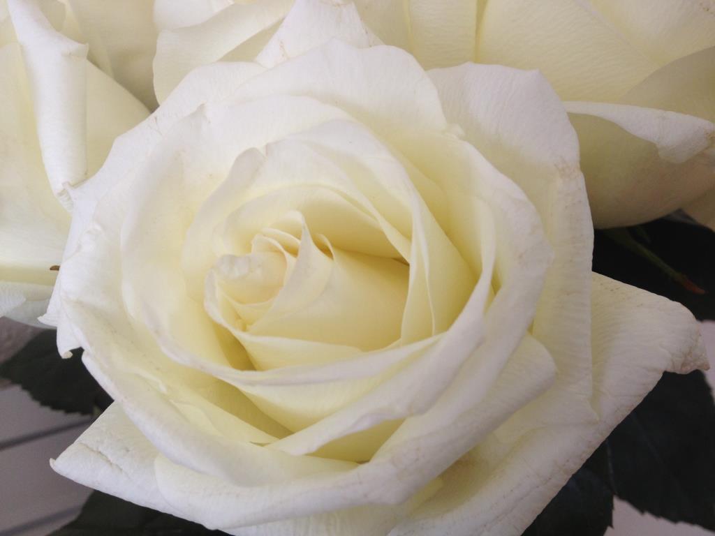 Белые розы открытка с 8 марта