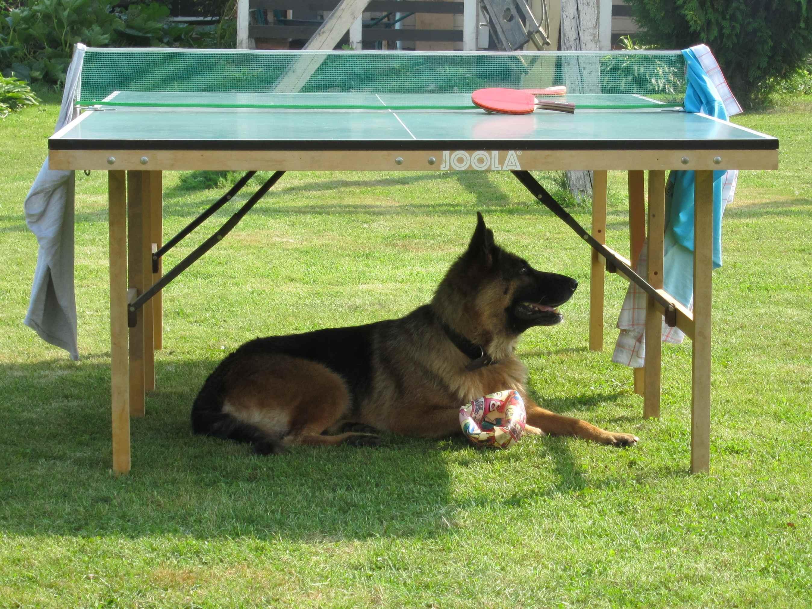 Под столом в тени лежу, мячик свой я сторожу.