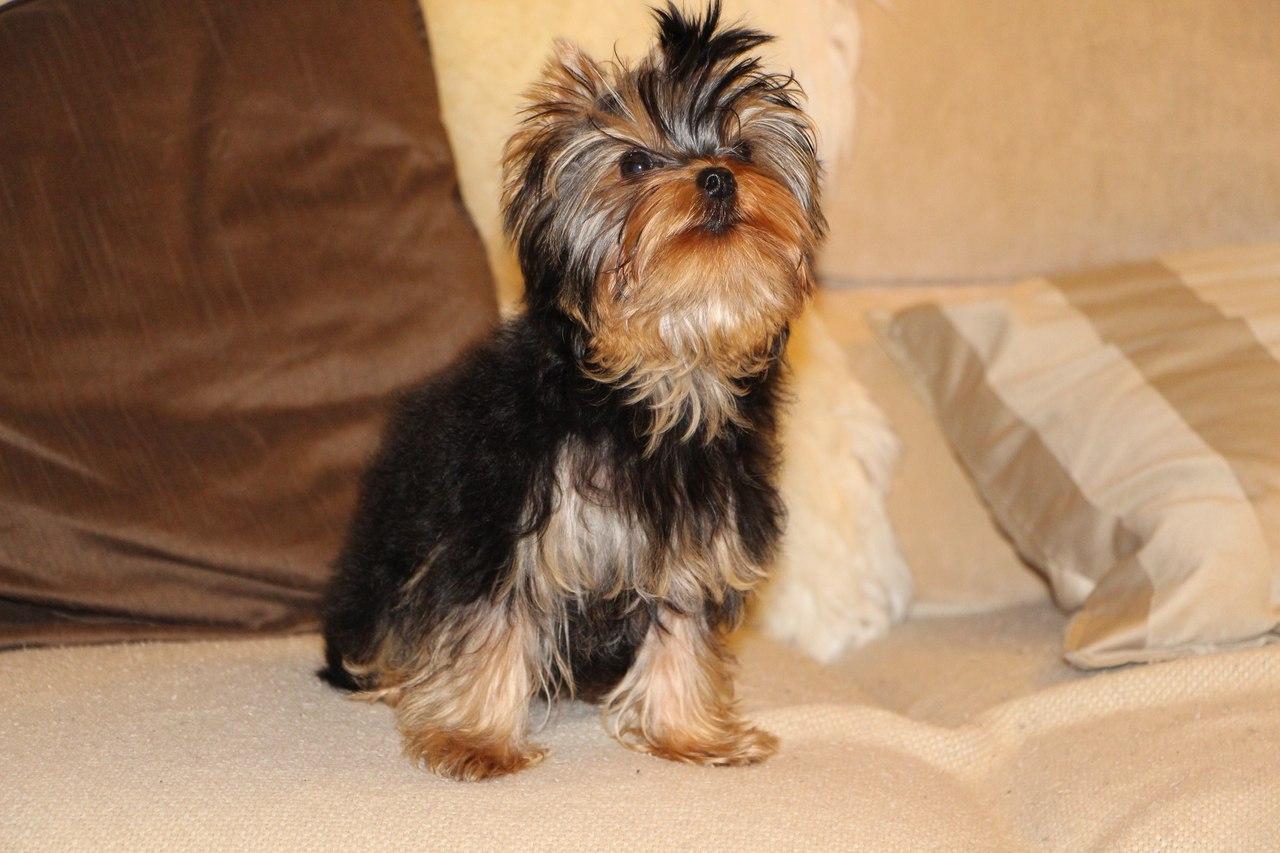 Наш любимый Хеппик. Моя маленькая собака