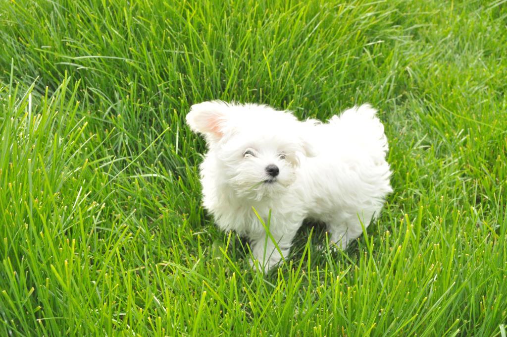 Маленькое сокровище Чавес!. Моя маленькая собака
