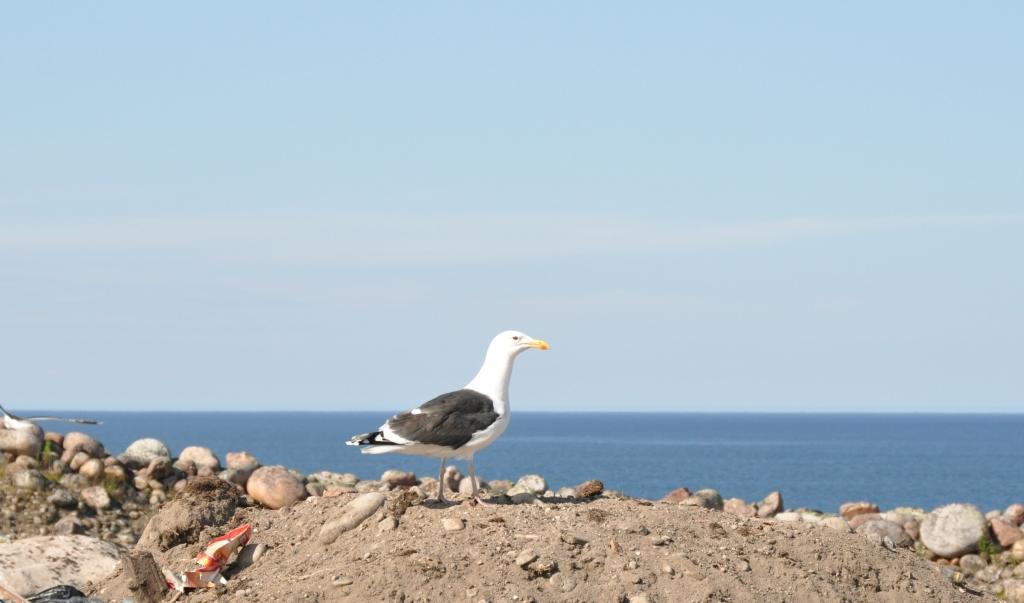 Териберская чайка на берегу Баренцева моря. Блиц: дикая фауна