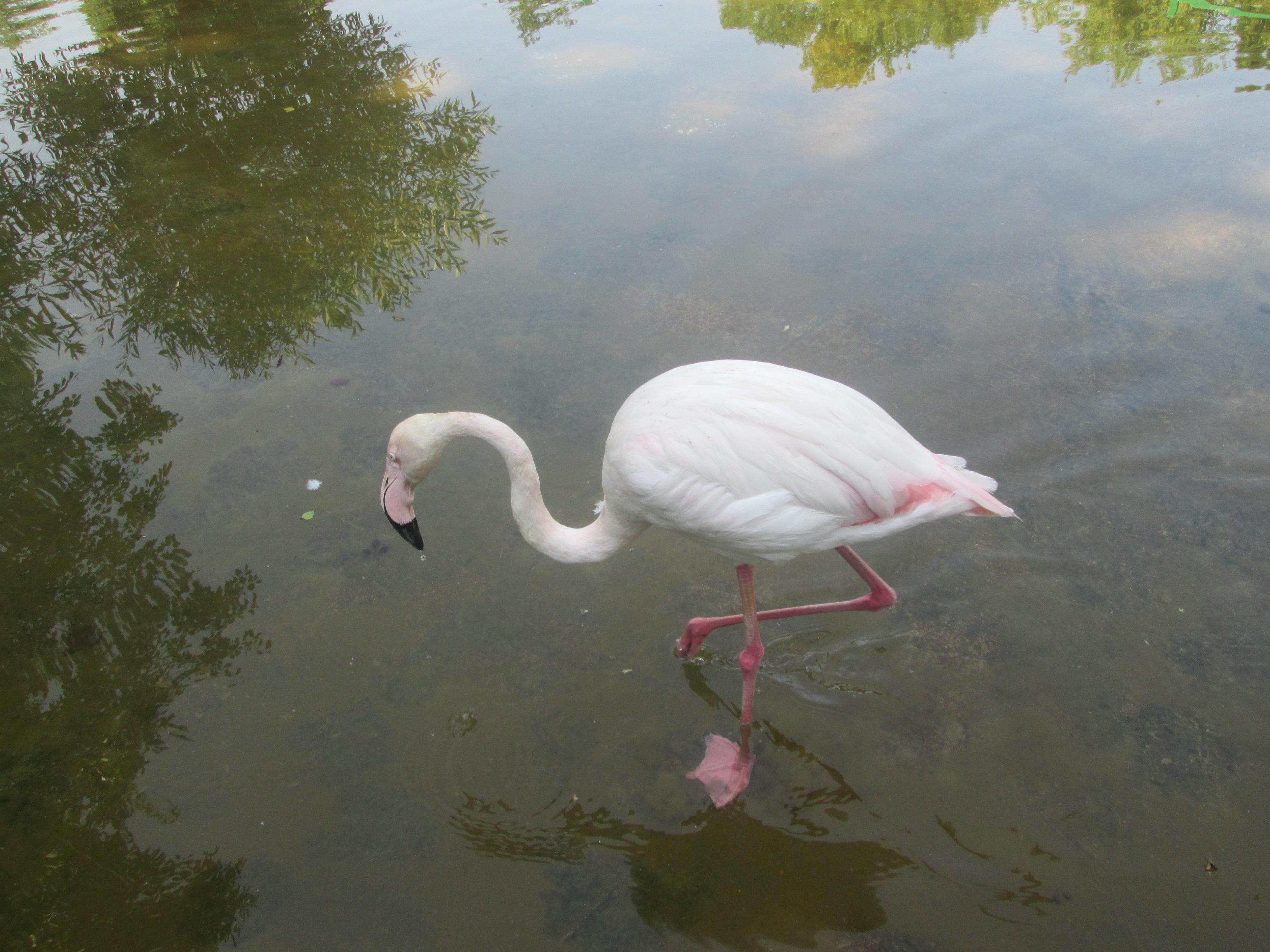 Гордость липецкого зоопарка - розовый фламинго. Блиц: дикая фауна