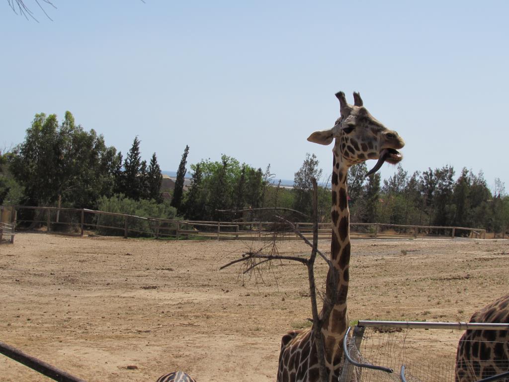 милые создания-жирафы. Блиц: дикая фауна