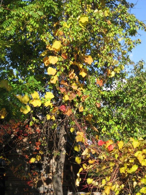Золотые листья винограда. Блиц: осенний пейзаж
