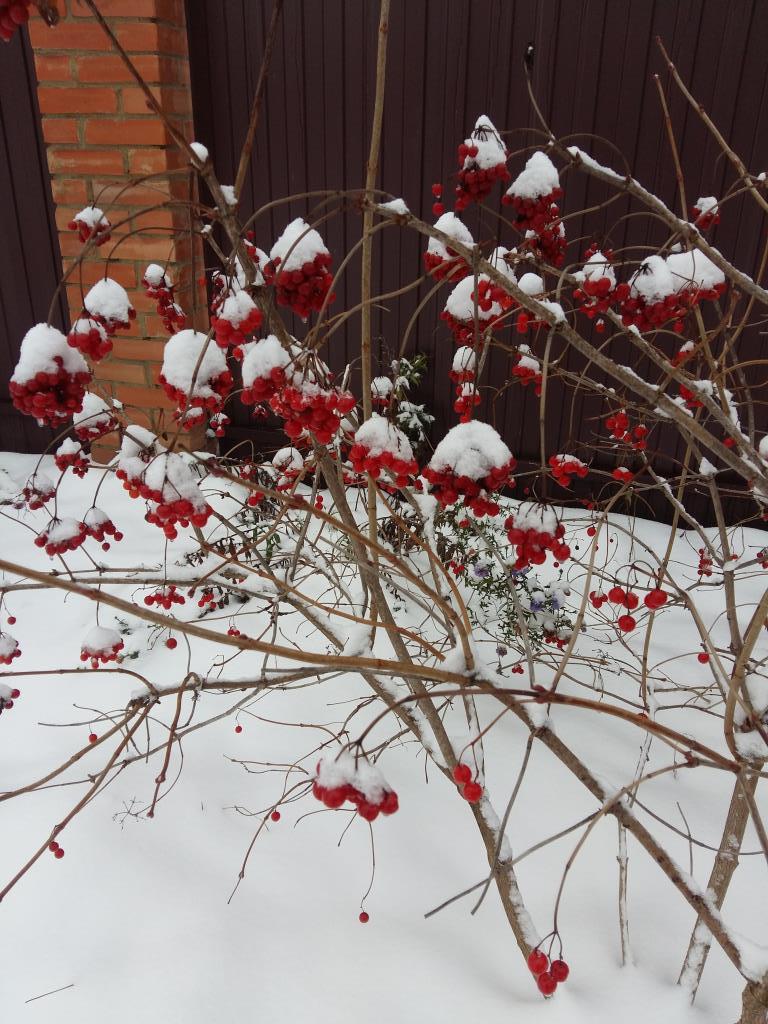Калина в снегу. Блиц 'Первый снег'