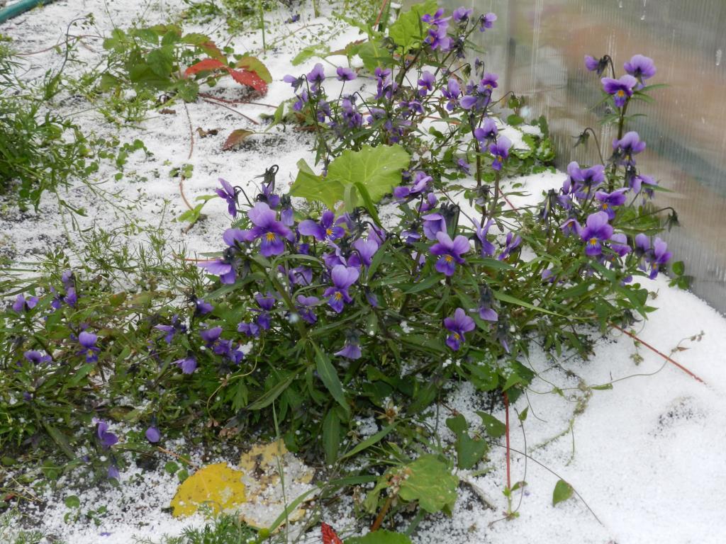 Цветы под снегом. Блиц 'Первый снег'