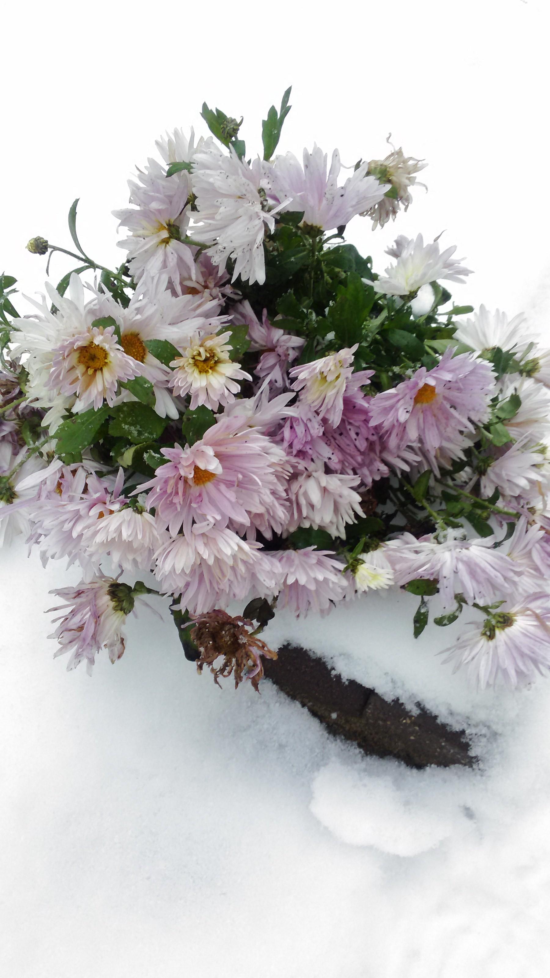 Хризантемы в снегу. Блиц 'Первый снег'