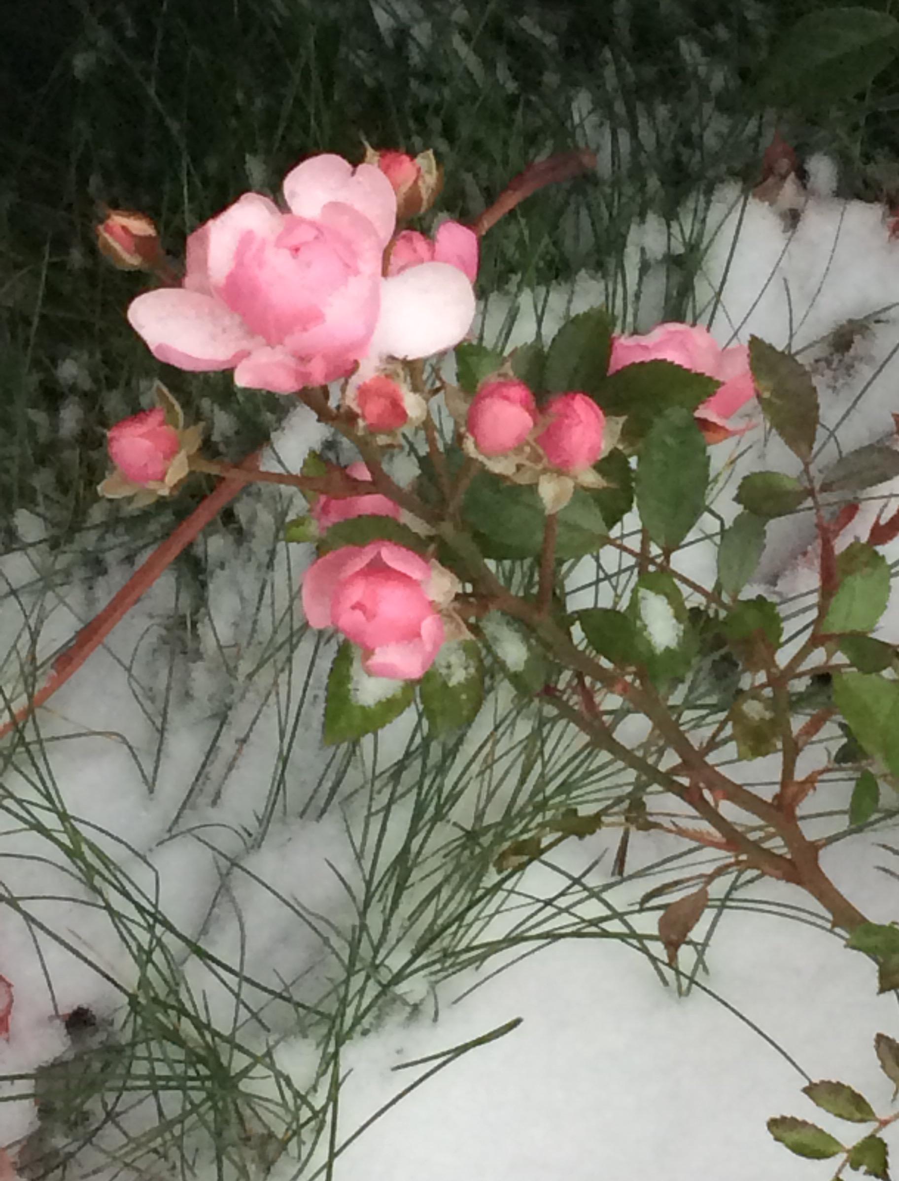 Роза,сорт ''снежная королева''). Блиц 'Первый снег'