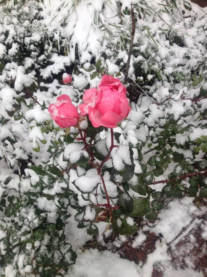 Снежный аромат роз . Блиц 'Первый снег'