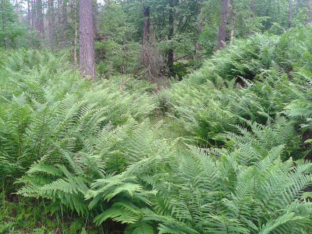 Папоротниковый лес. Лесной пейзаж