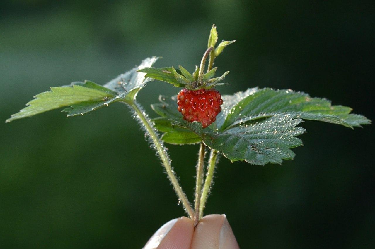Наполнена Летом.... Блиц: ягоды