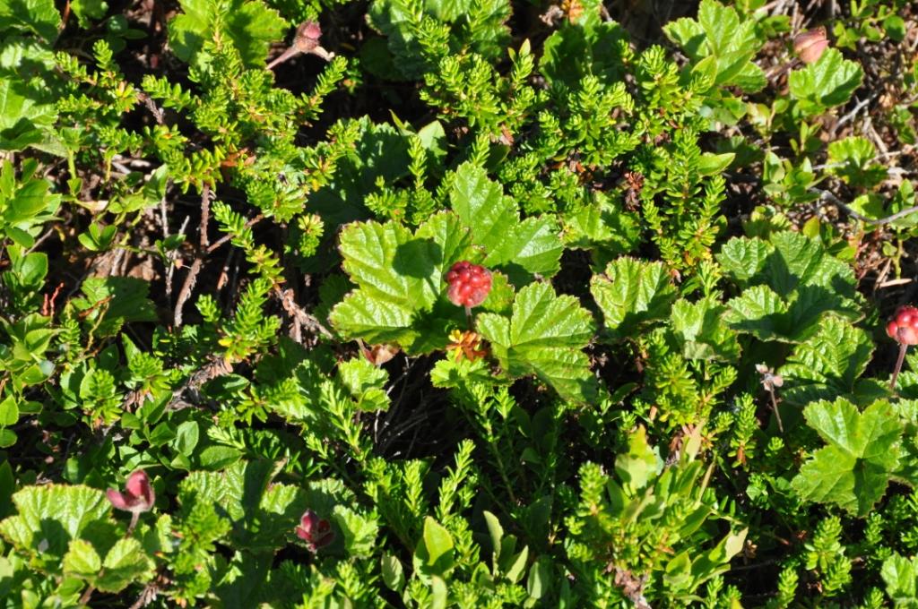 Морошка на берегу Баренцева моря. Блиц: ягоды