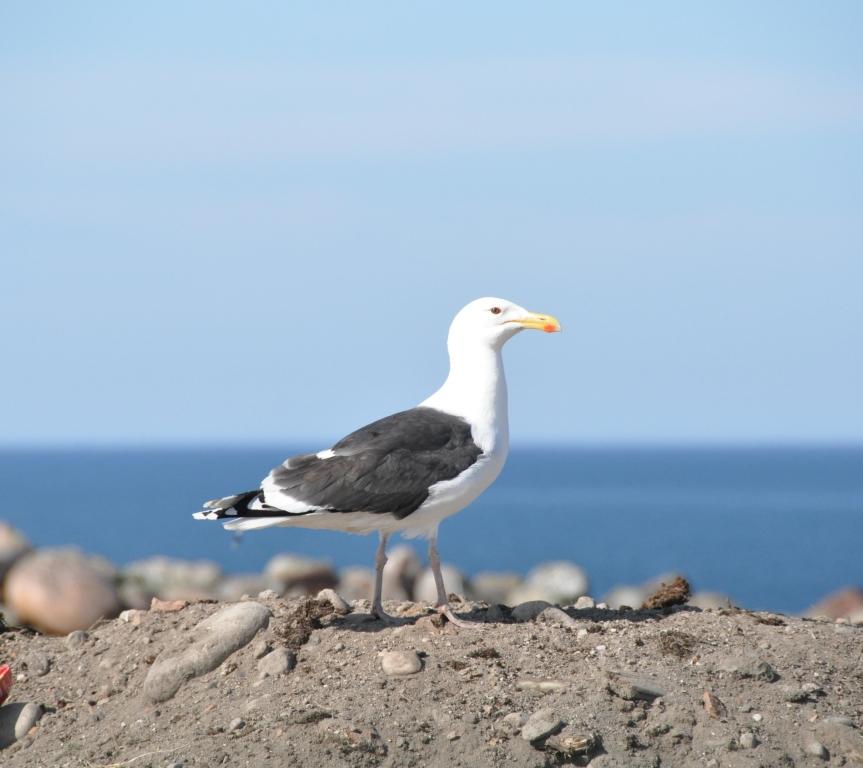 Териберская чайка - на берегу Баренцева моря. Блиц: дикие животные