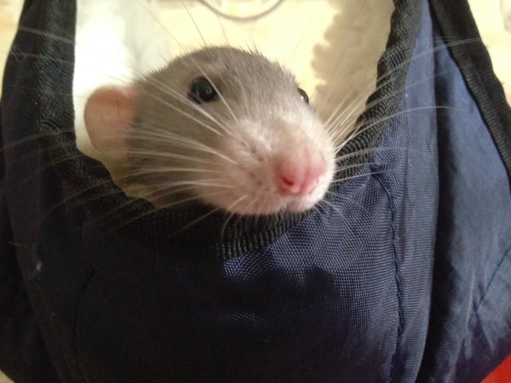 Любимый Крысик Тимка. Блиц: мой питомец