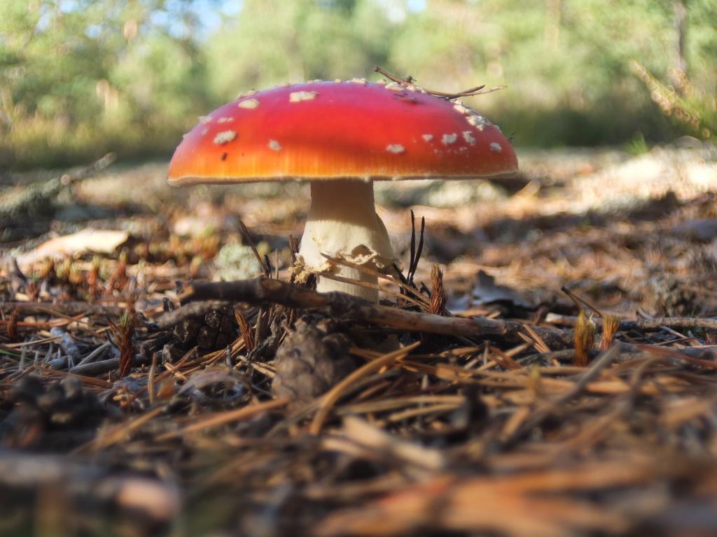 Красивый и опасный.. Блиц: грибы