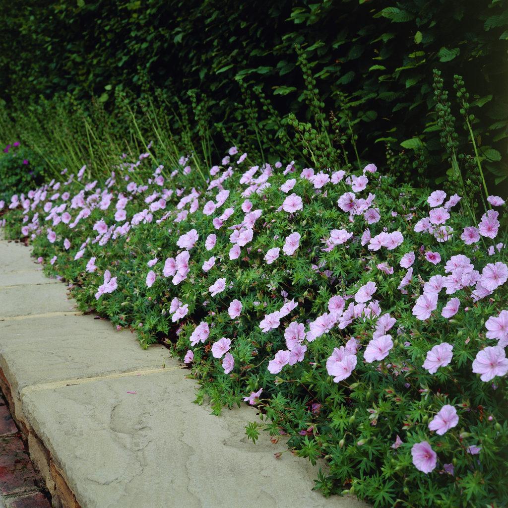 Картинка Герань королевская  Разные цветы  Цветы