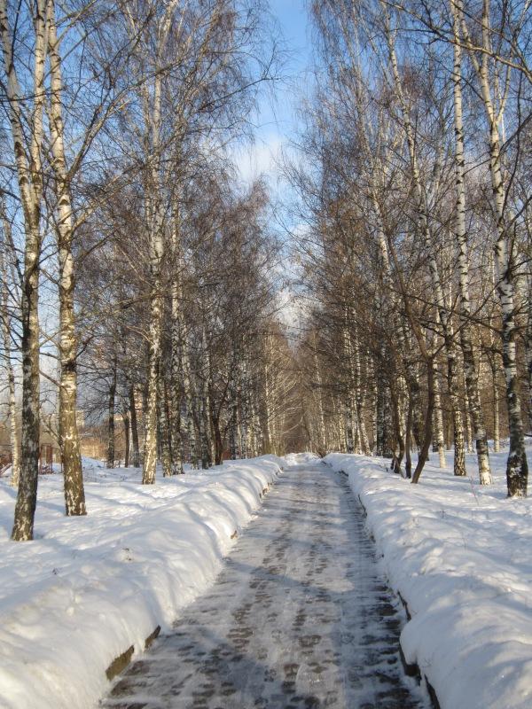 Берёзовая аллея в декабре. Блиц: зима