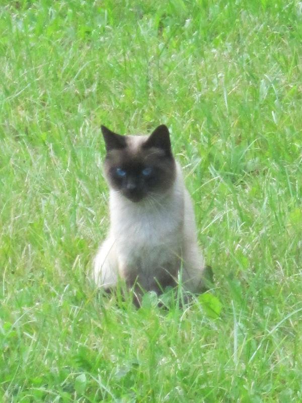 Сиамская кошка. Блиц: кошки против собак