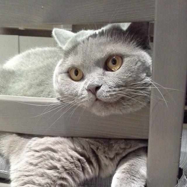 Камилла (лиловая британка). Блиц: кошки против собак