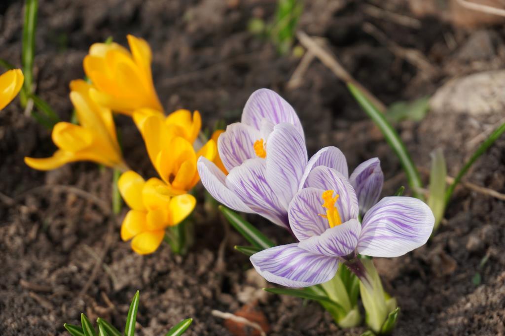 Мои первоцветики. Блиц: весна