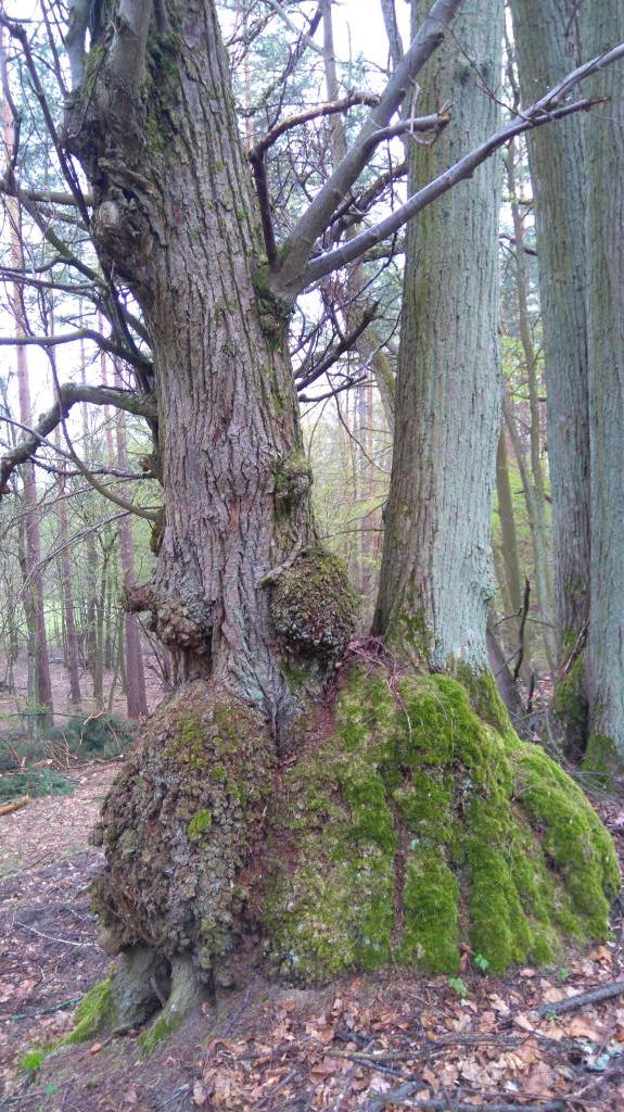 Таинственные липы. Лесной пейзаж