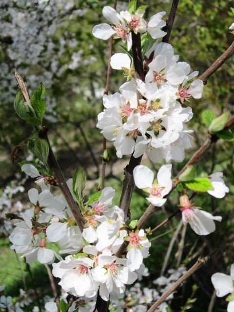Расцветали яблони в саду. Блиц: цветение