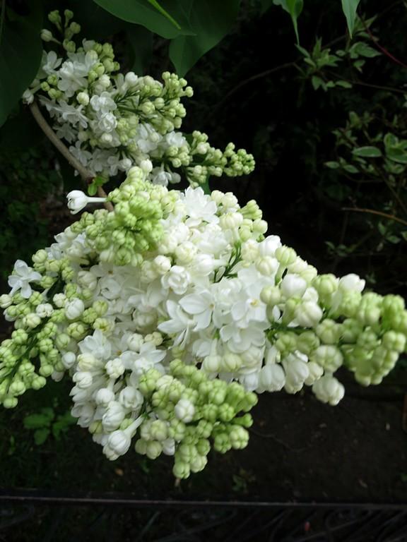 Белая гроздь сирени!. Блиц: цветение