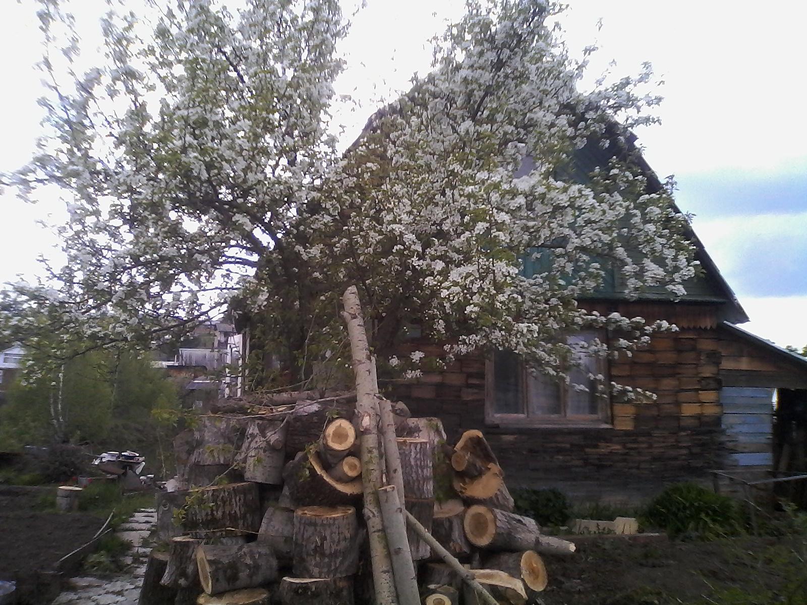 Уральская красавица-груша.. Блиц: цветение