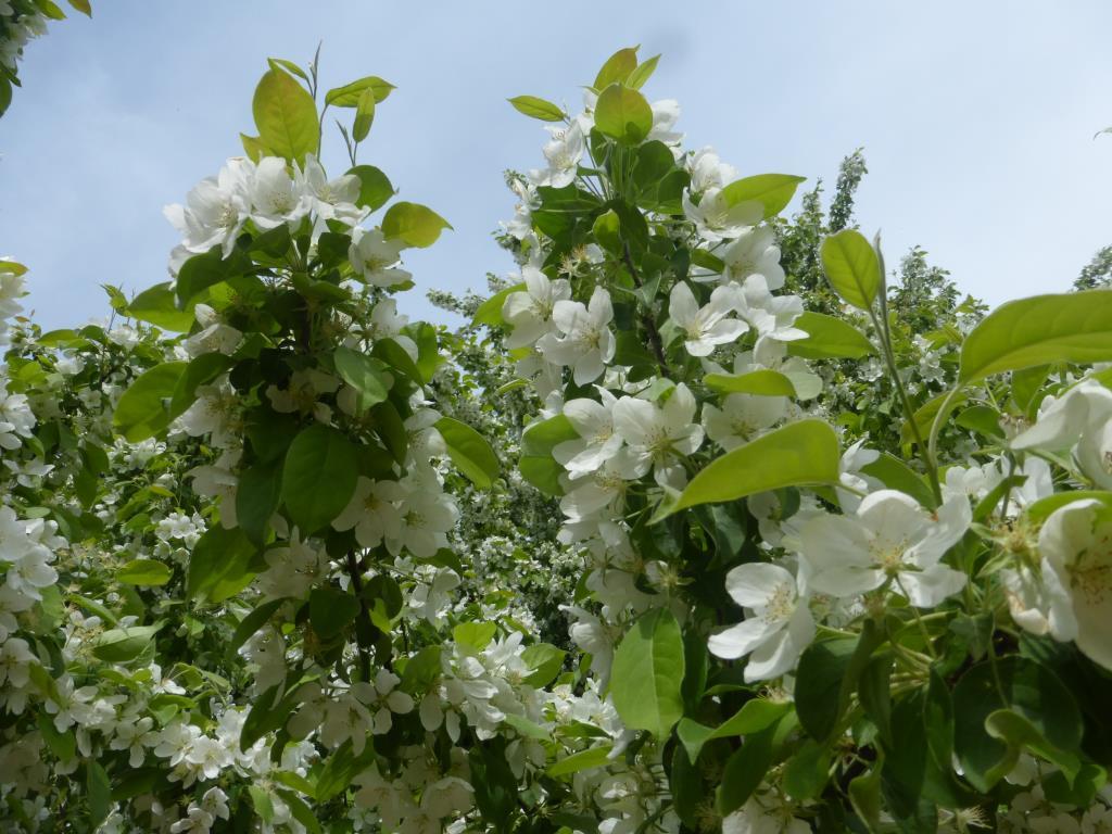 Яблоневый рай. Блиц: цветение
