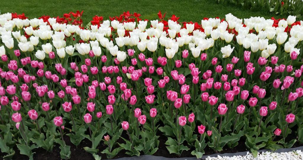 Море тюльпанов радует глаз. Блиц: цветение