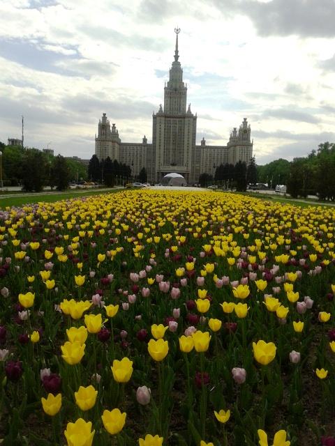 Расцвели тюльпаны ярким покрывалом. . Блиц: цветение