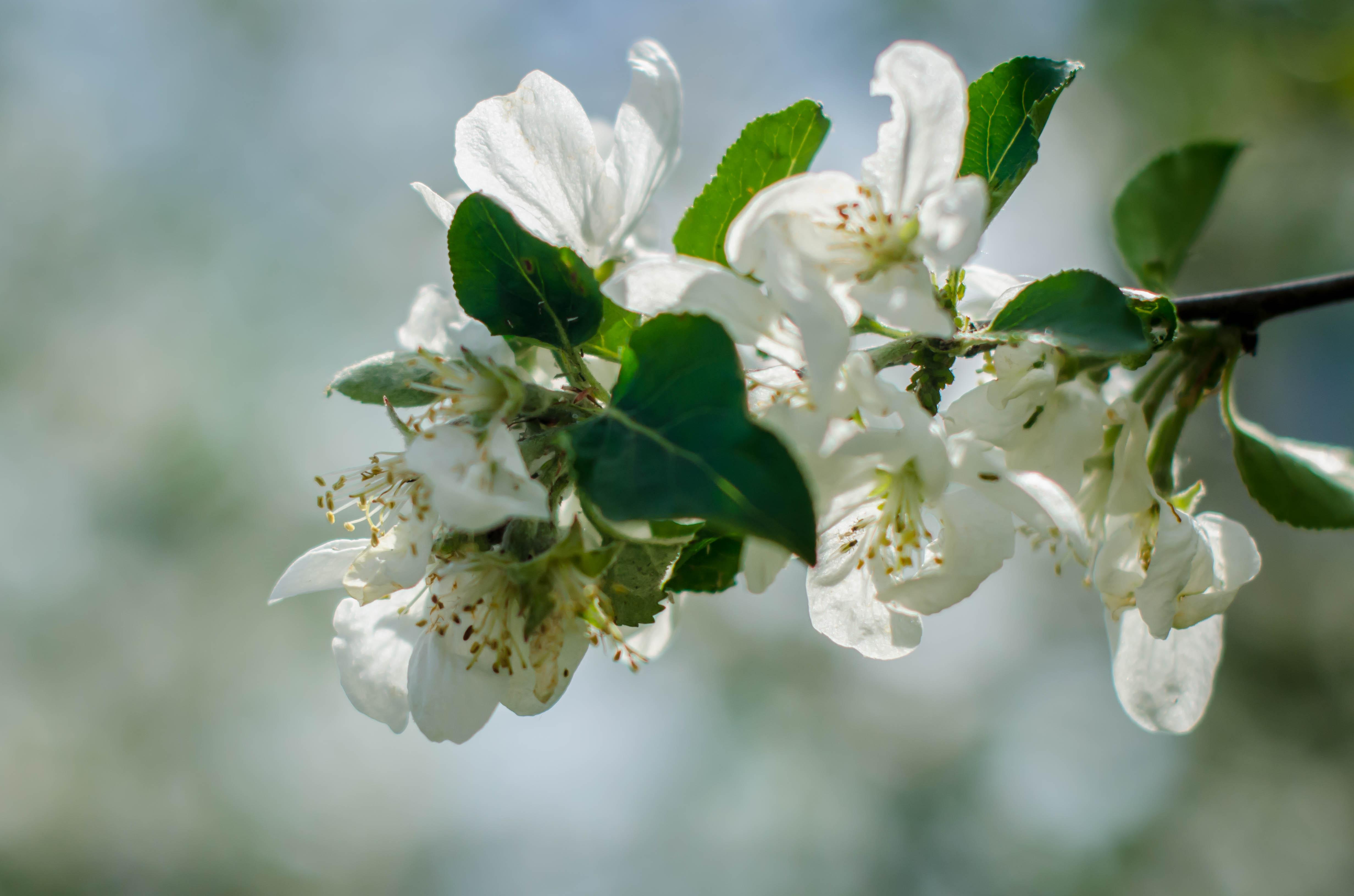 Яблоня. Блиц: цветение