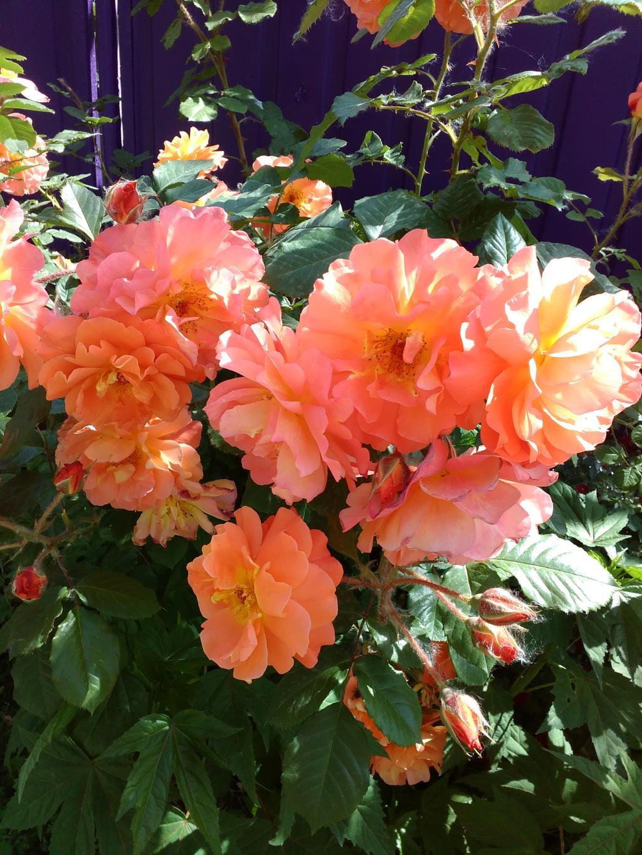 Цветущие розы. Блиц: цветение