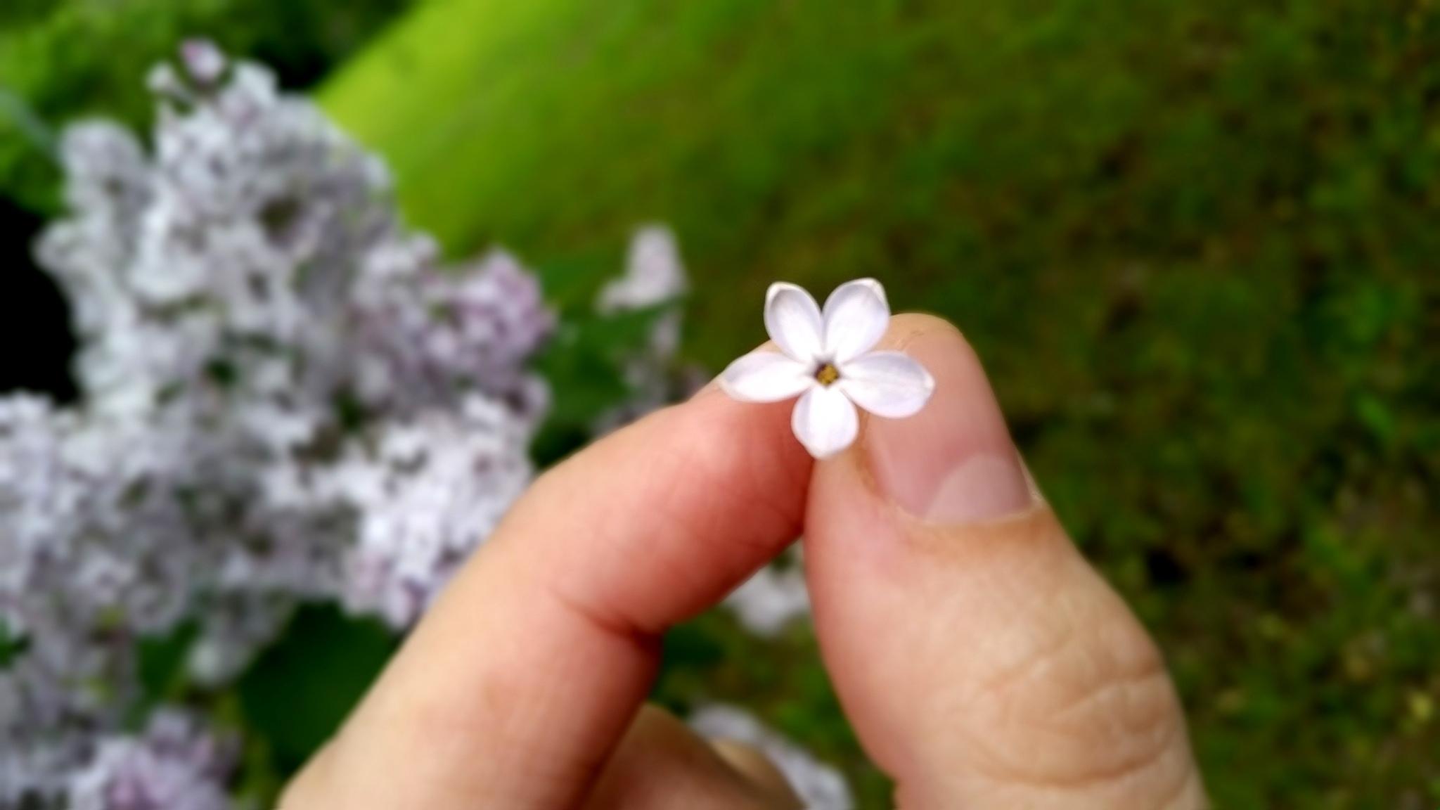 Пятилистник на счастье!. Блиц: цветение