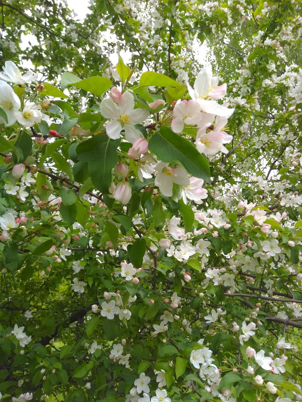 Яблоня в цвету. Блиц: цветение