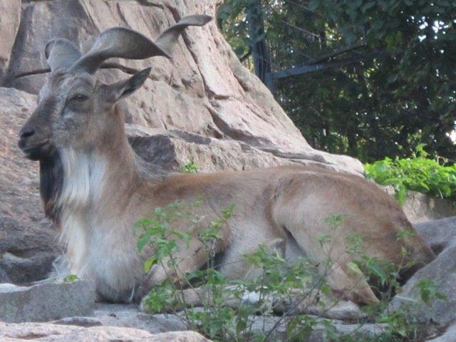 Винторогий козёл мархур. Блиц: зоопарк