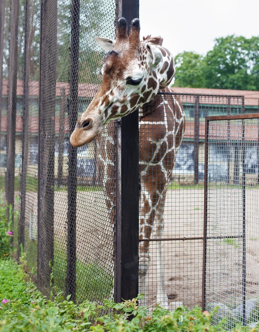 Любопытный жираф. Блиц: зоопарк