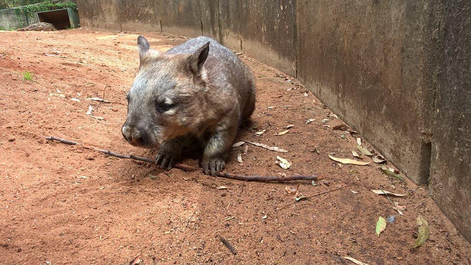 Австралийский вомбат. Блиц: зоопарк