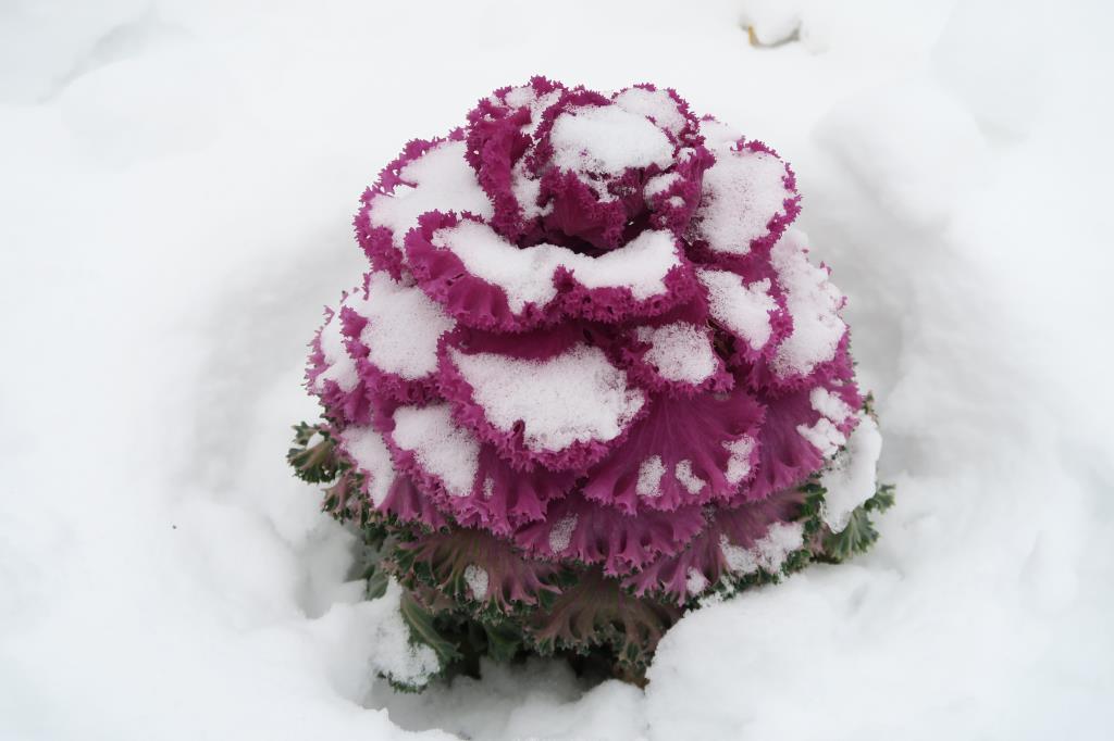 Декоративная капустка не сдается!. Блиц: снежная зима