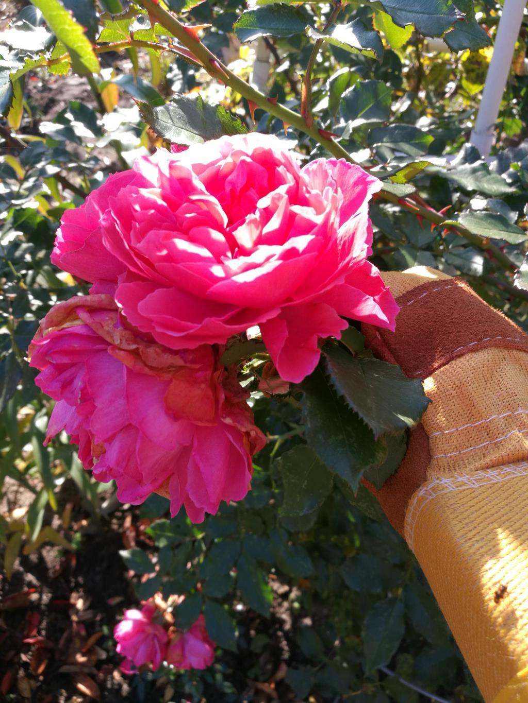 17 октября вот так цвет еще Rosarium Uetersen. самая обильноцветущая