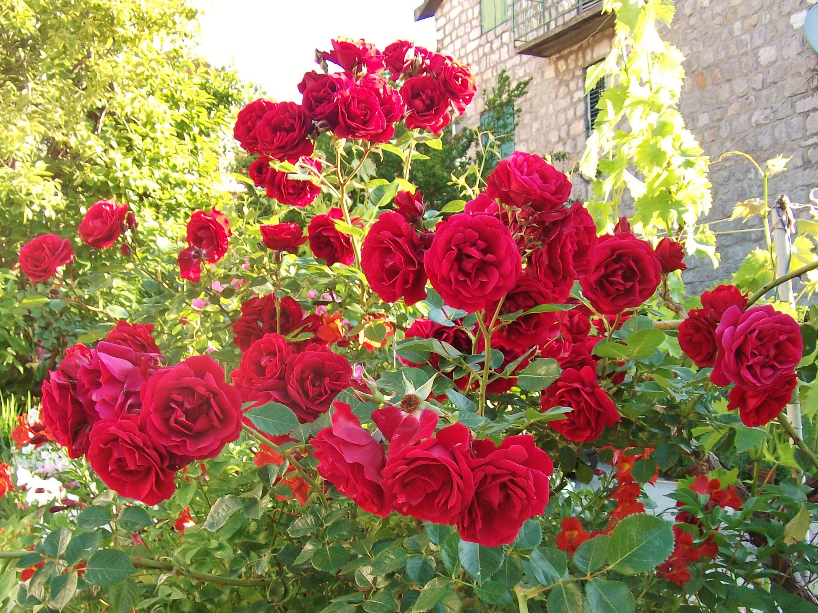 Любишь розы - терпи и шипы. Блиц: розы