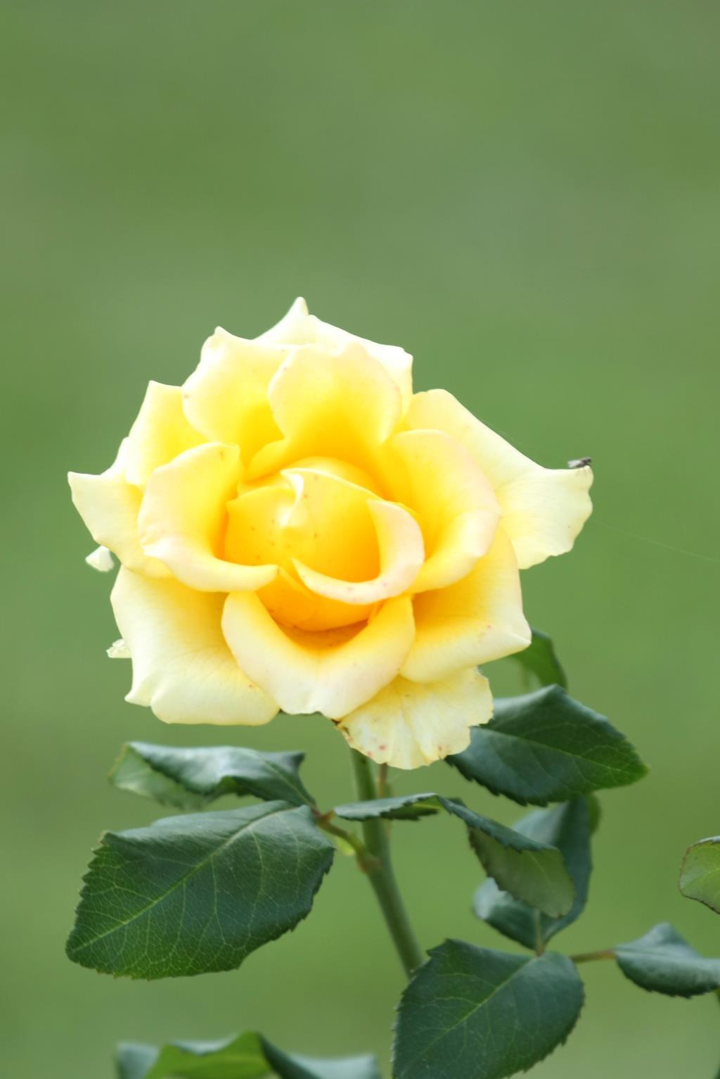 Роза. Блиц: розы