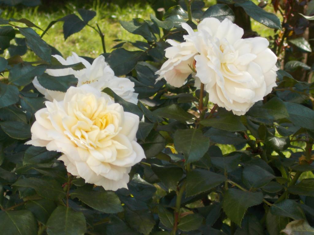 Две звезды.... Блиц: розы