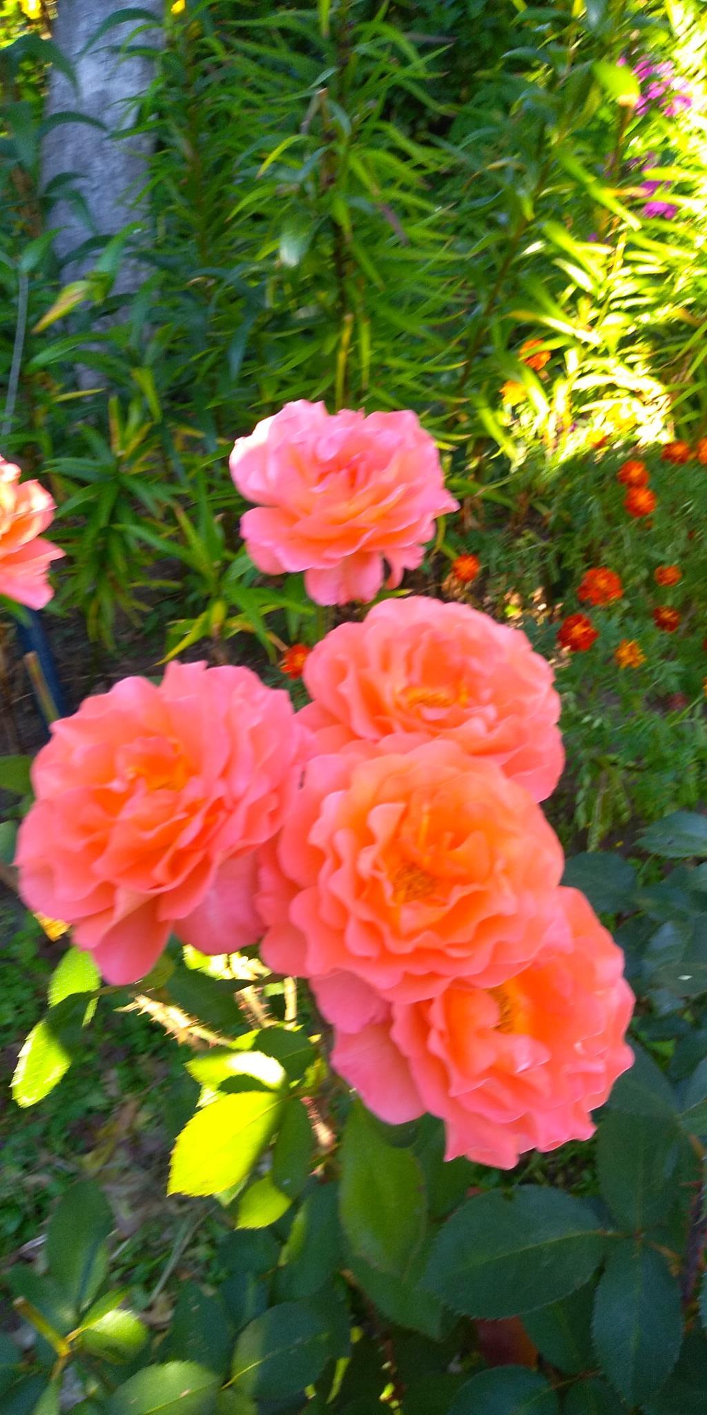 Роза  Тайм. Блиц: розы