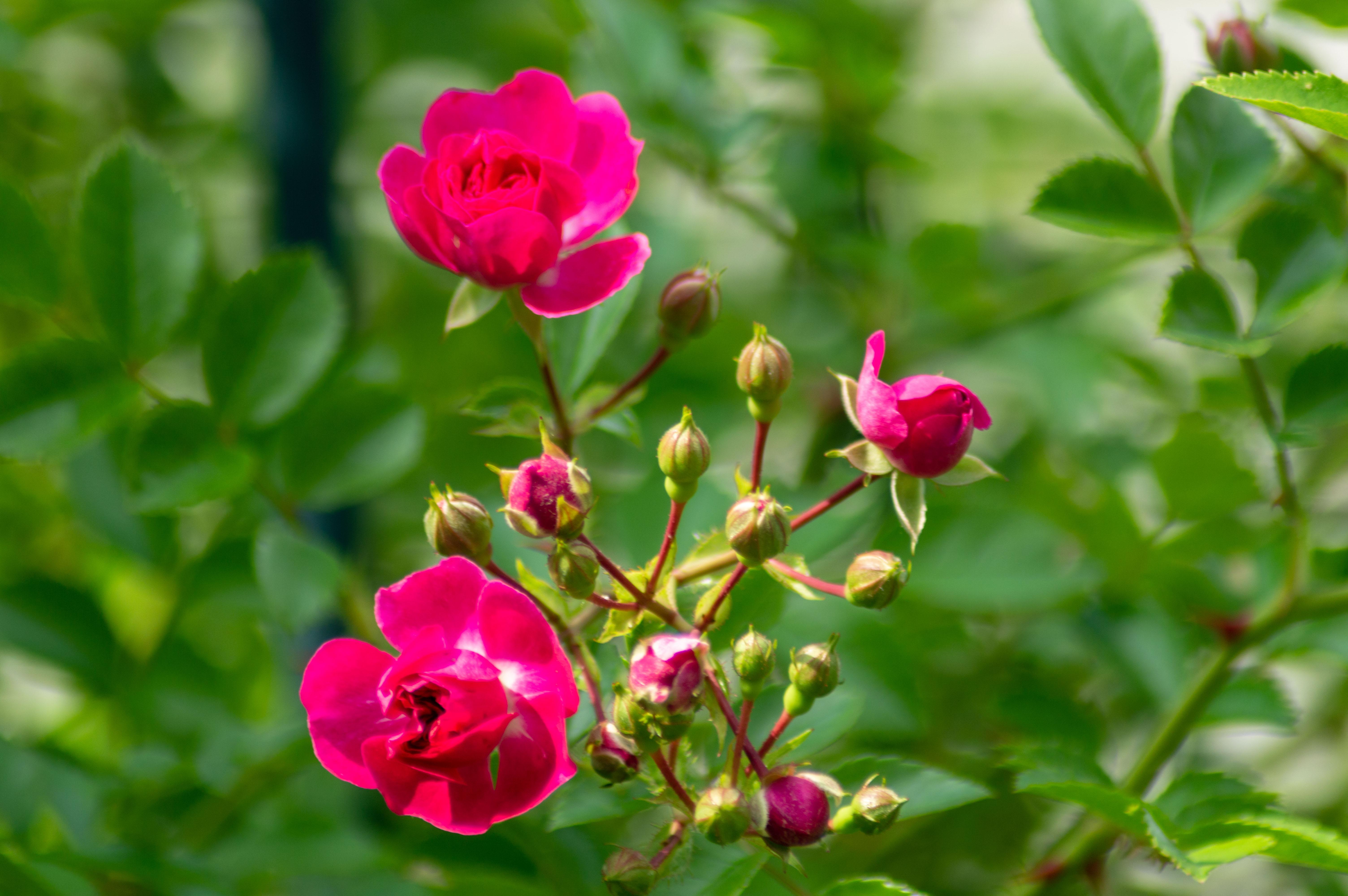 Прекрасные розочки. Блиц: розы