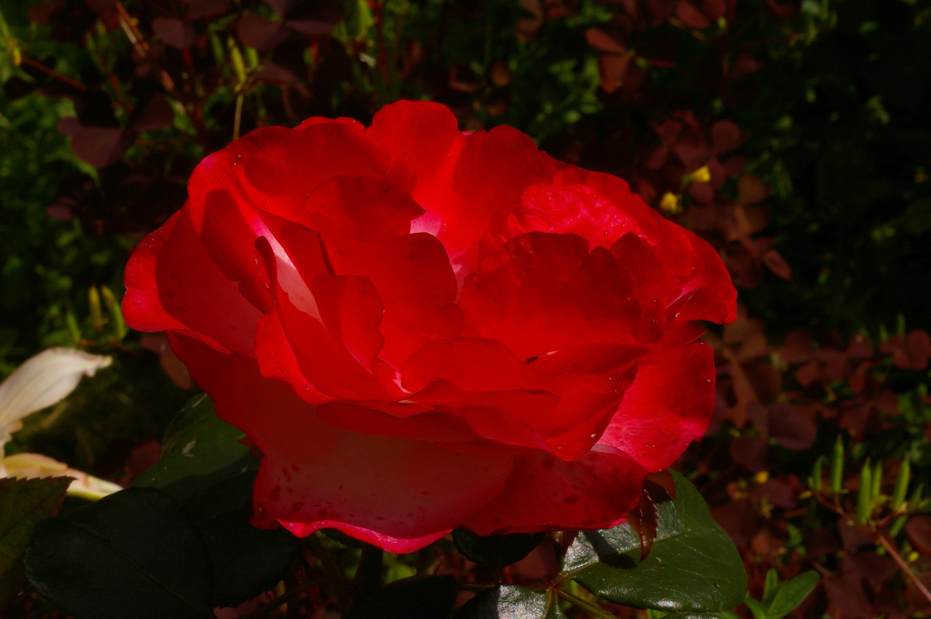 ?????????. Блиц: розы